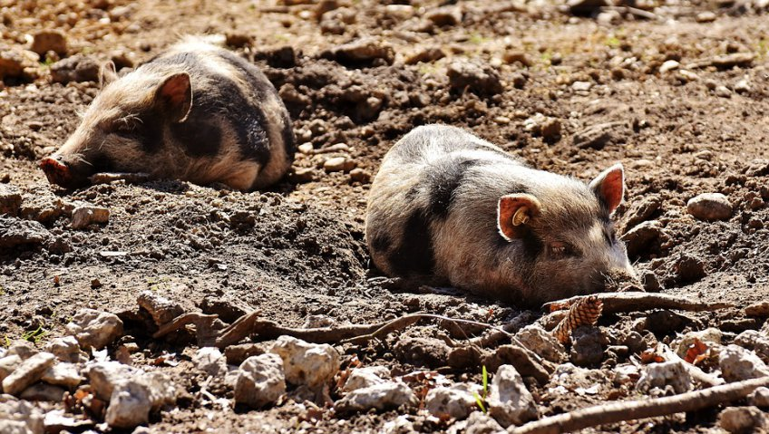 Наподмосковном предприятии зафиксирована африканская чума свиней