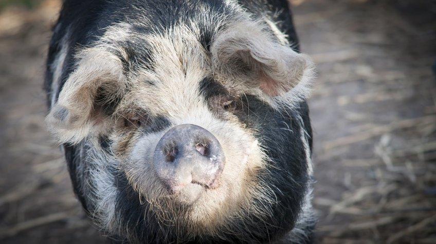 Чума свиней обошлась России вдесятки миллиардов рублей