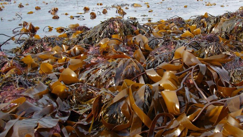 Японцы заплатят зароссийскую морскую капусту 830 тыс. долларов