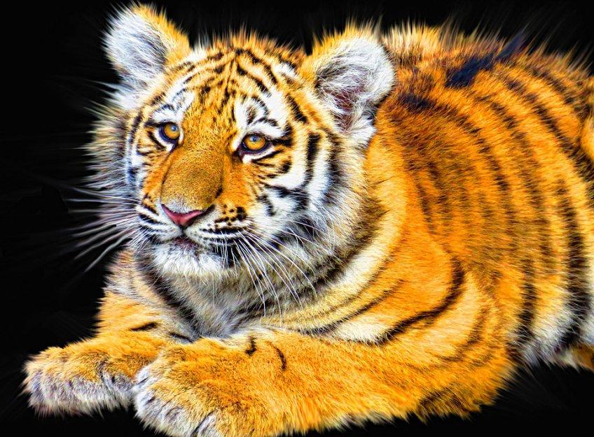 4 тигренка появились насвет вМосковском зоопарке