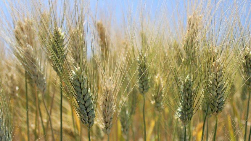 Своронежских полей собрали неменее 2 млн. тонн зерна