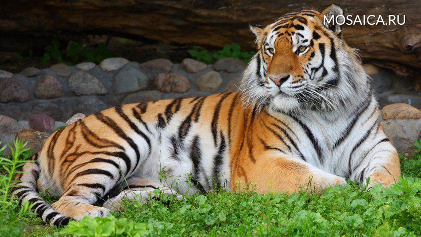 ВПриморье возросла численность амурских тигров