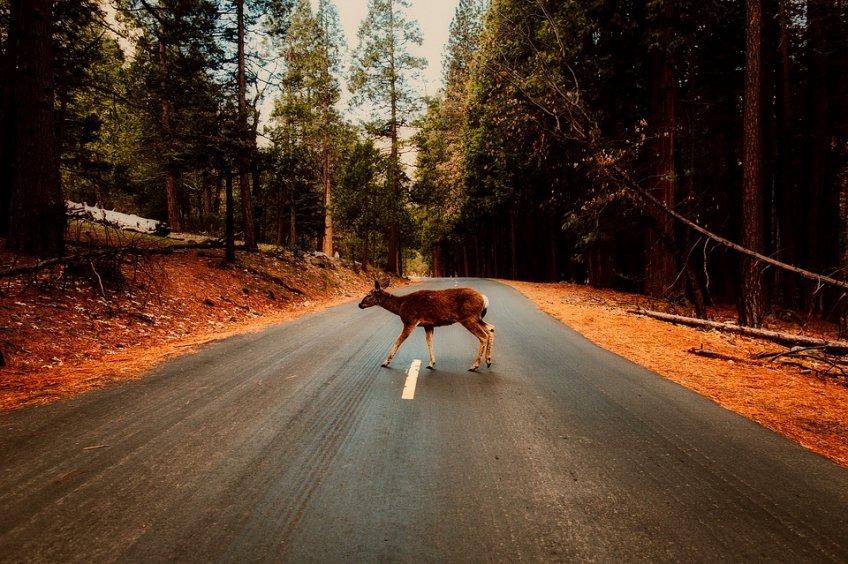 ВПодмосковье наПятницком шоссе при столкновении смашиной умер олень