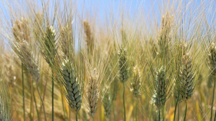 РФ вышла на 2-ое место вмире поэкспорту зерна— Минсельхоз