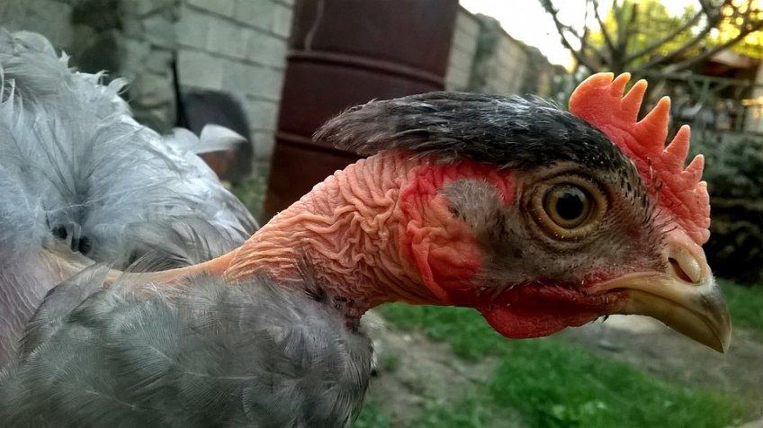 ВПодмосковье зафиксировано шесть очагов птичьего гриппа